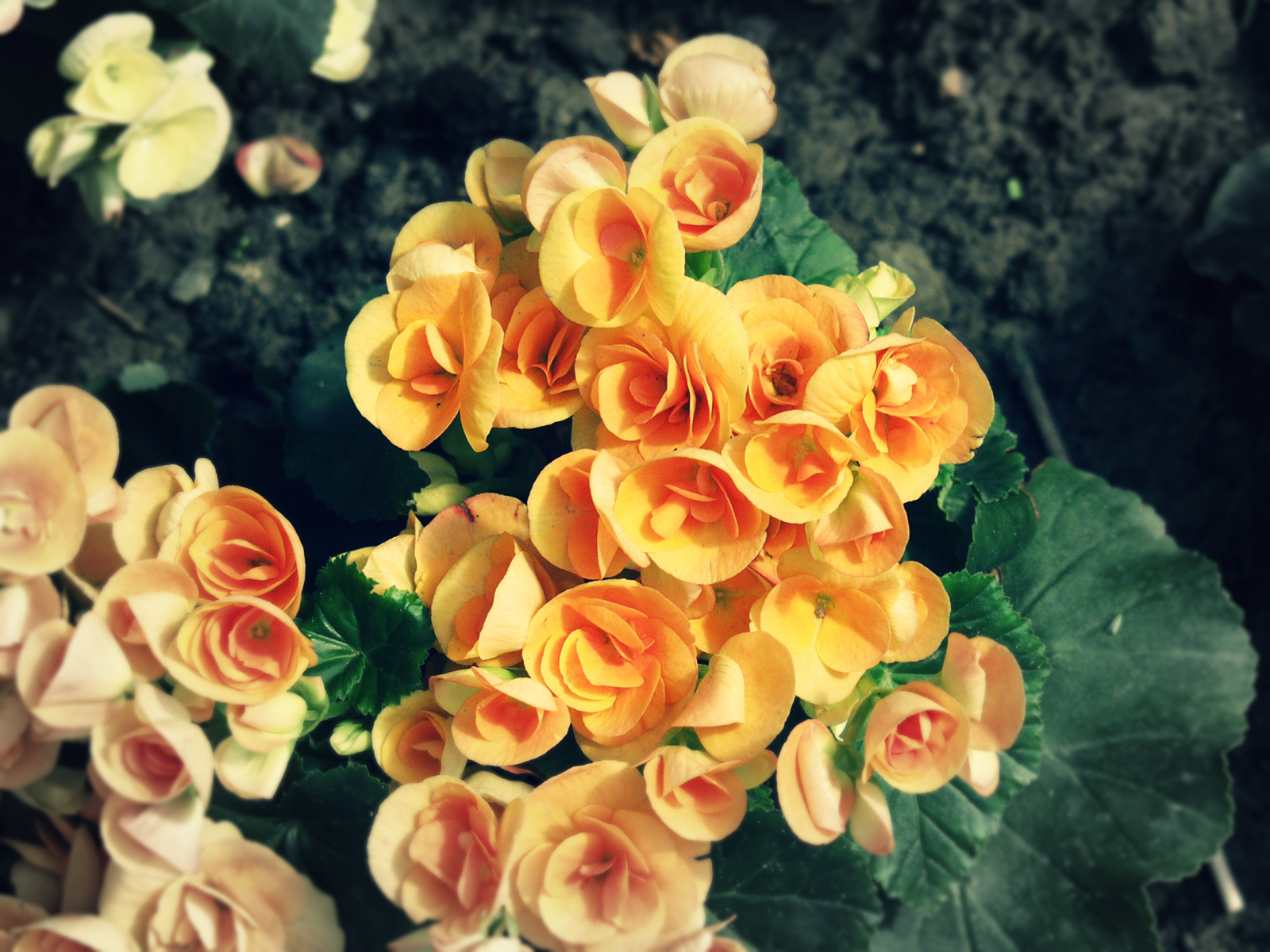 How To Care For Begonia Potted Plants Flower Press