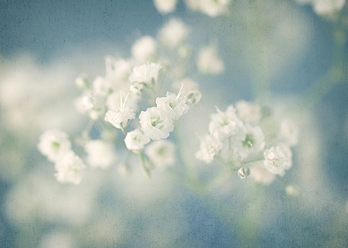 The History Of Baby S Breath Flower Press