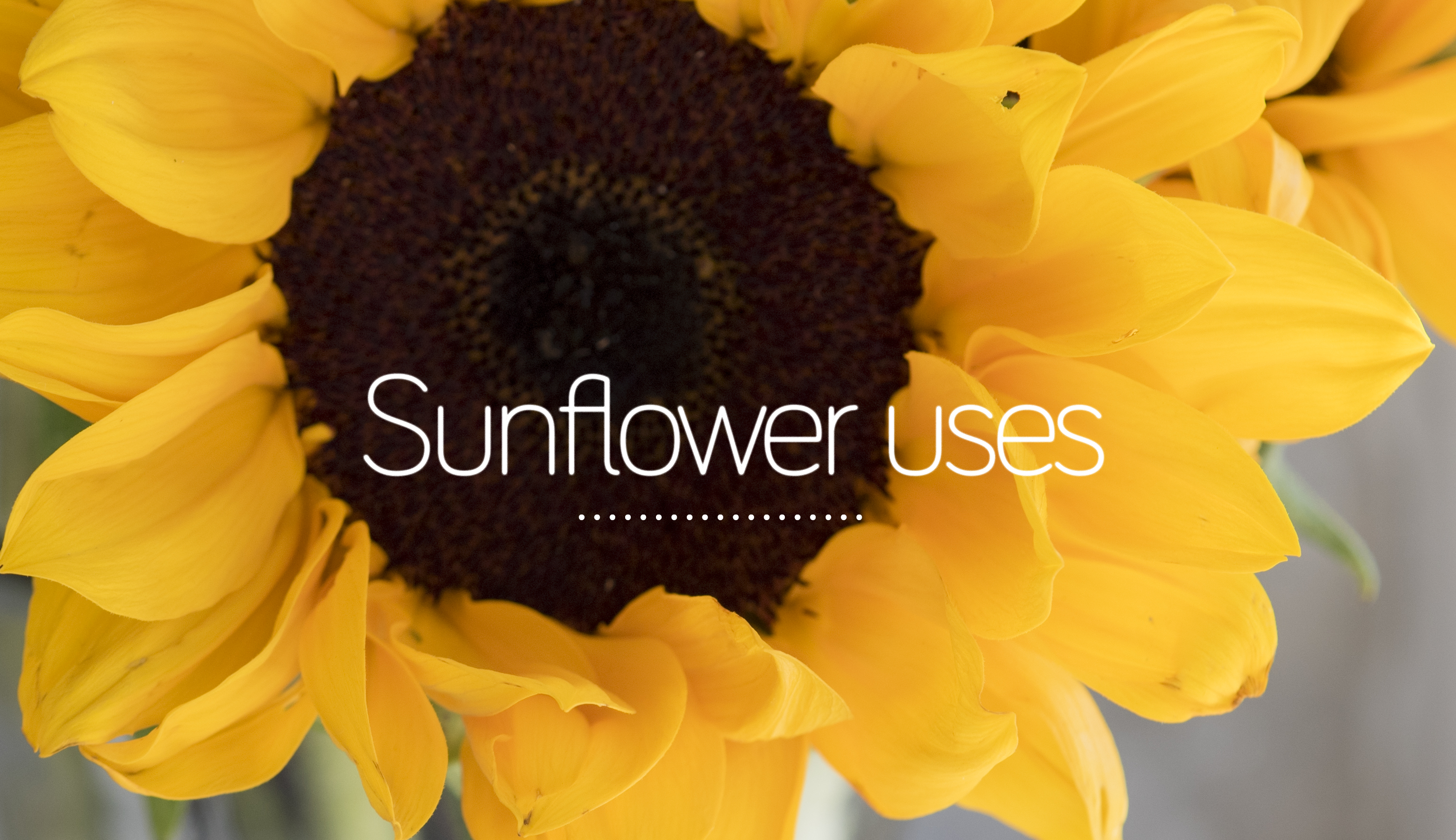 Interesting sunflower uses