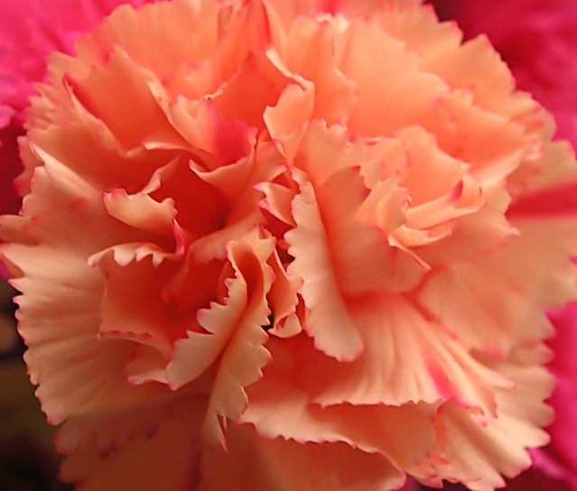 How to condition your carnations