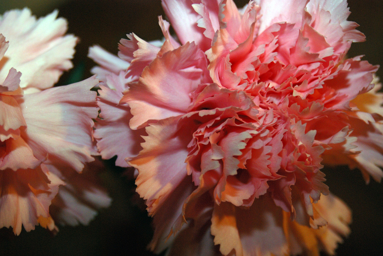 Make your own carnation birthday bouquet