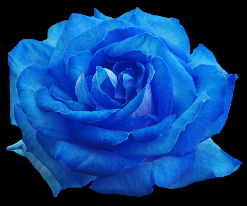 How to make your own blue rose