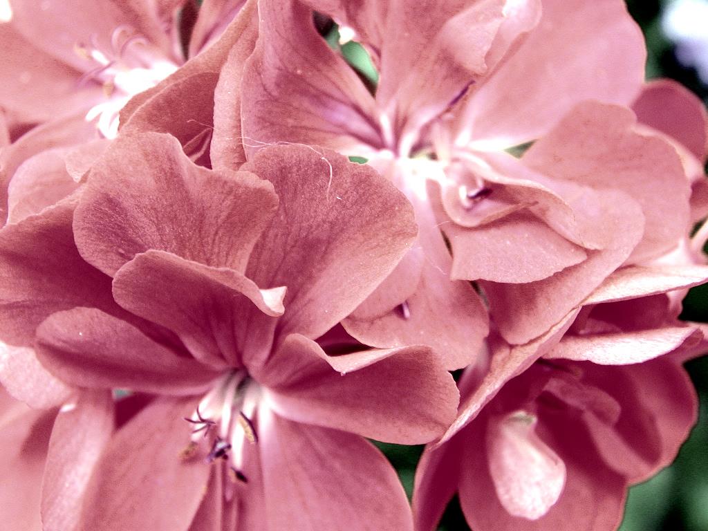Geranium flower facts
