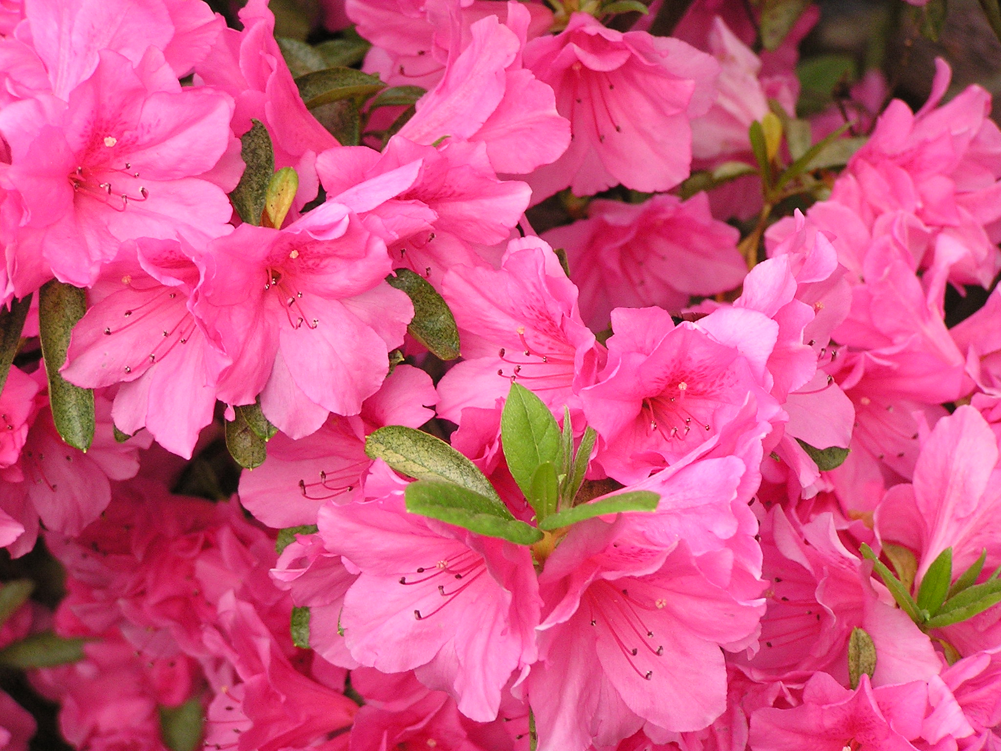 How to care for potted Azaleas