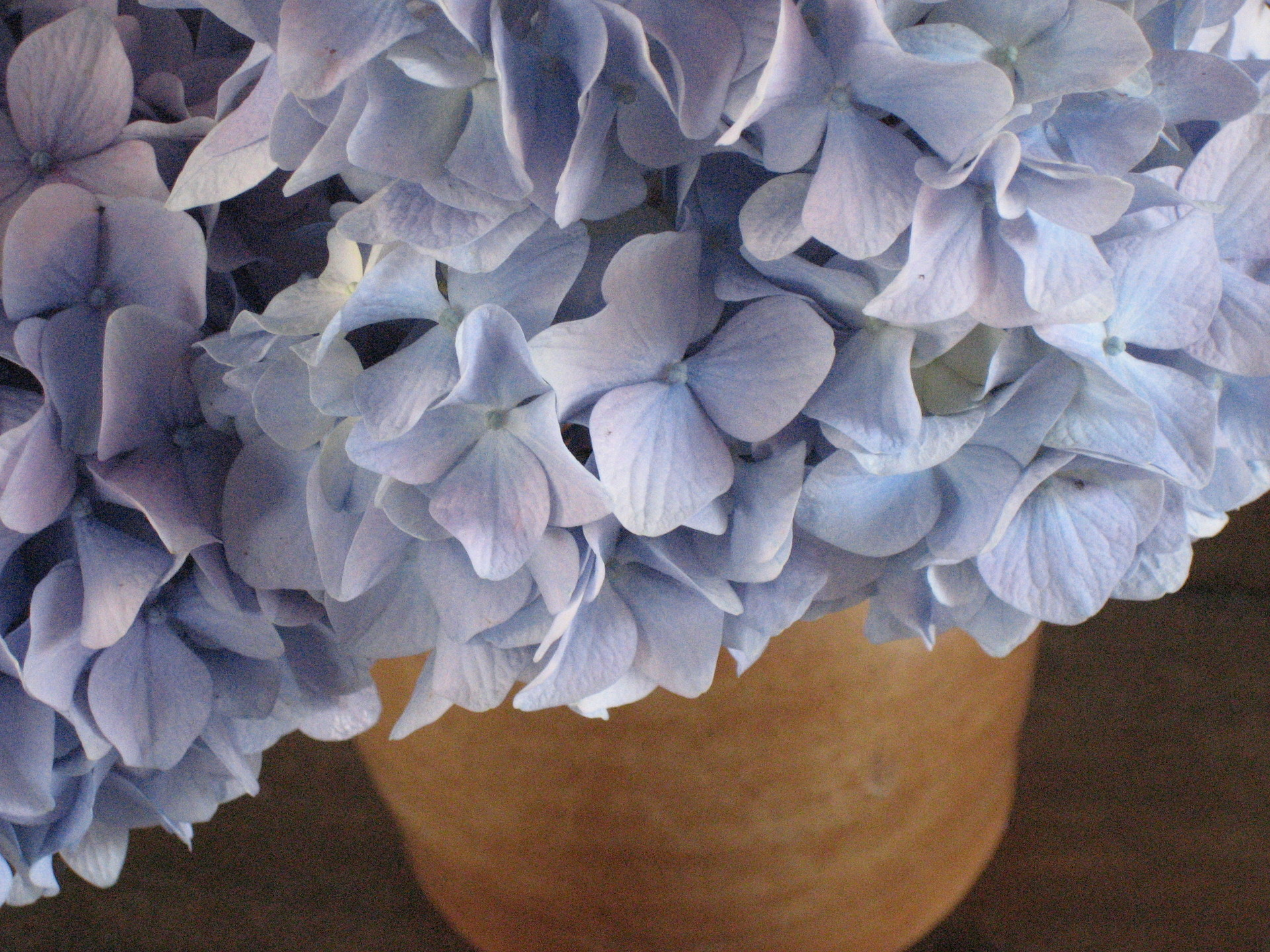 Care tips for Potted Hydrangeas