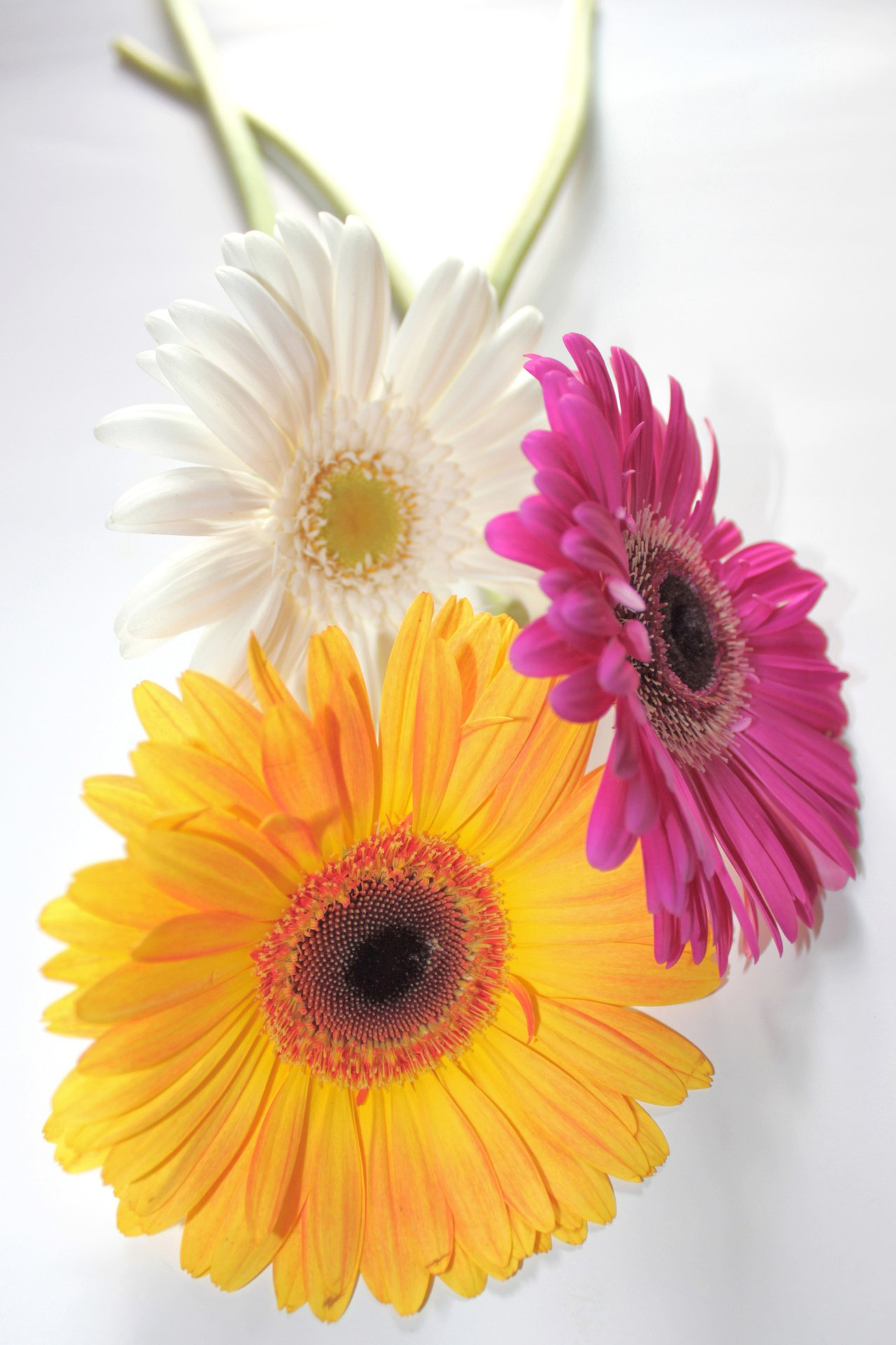 Interesting facts about Gerbera Daisies