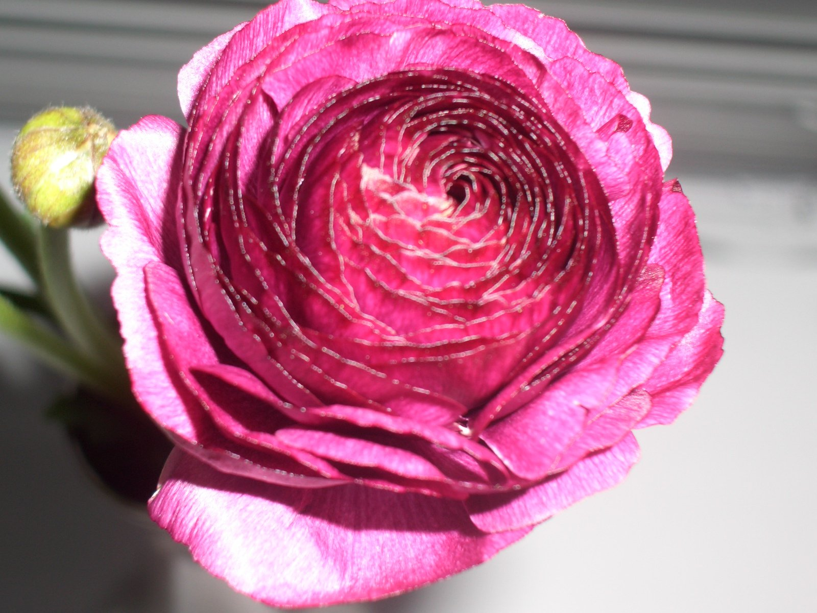 How to care for Ranunculus flowers