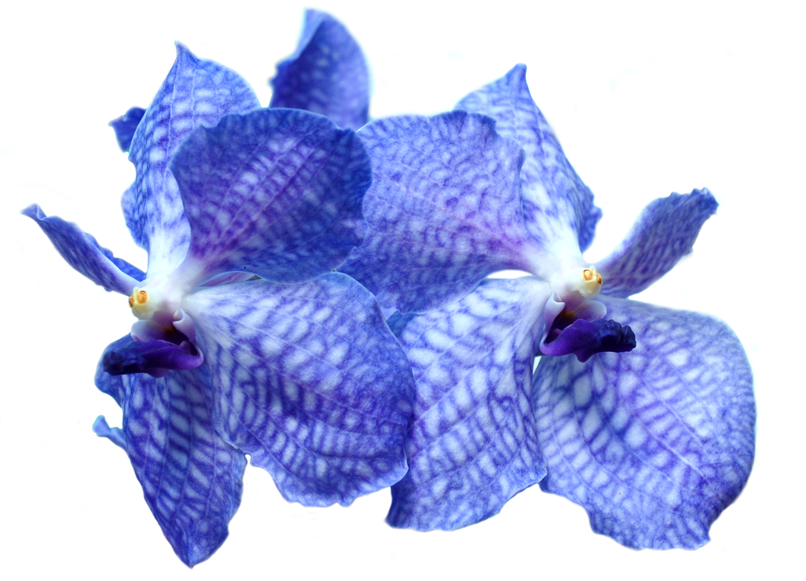 How are orchids coloured