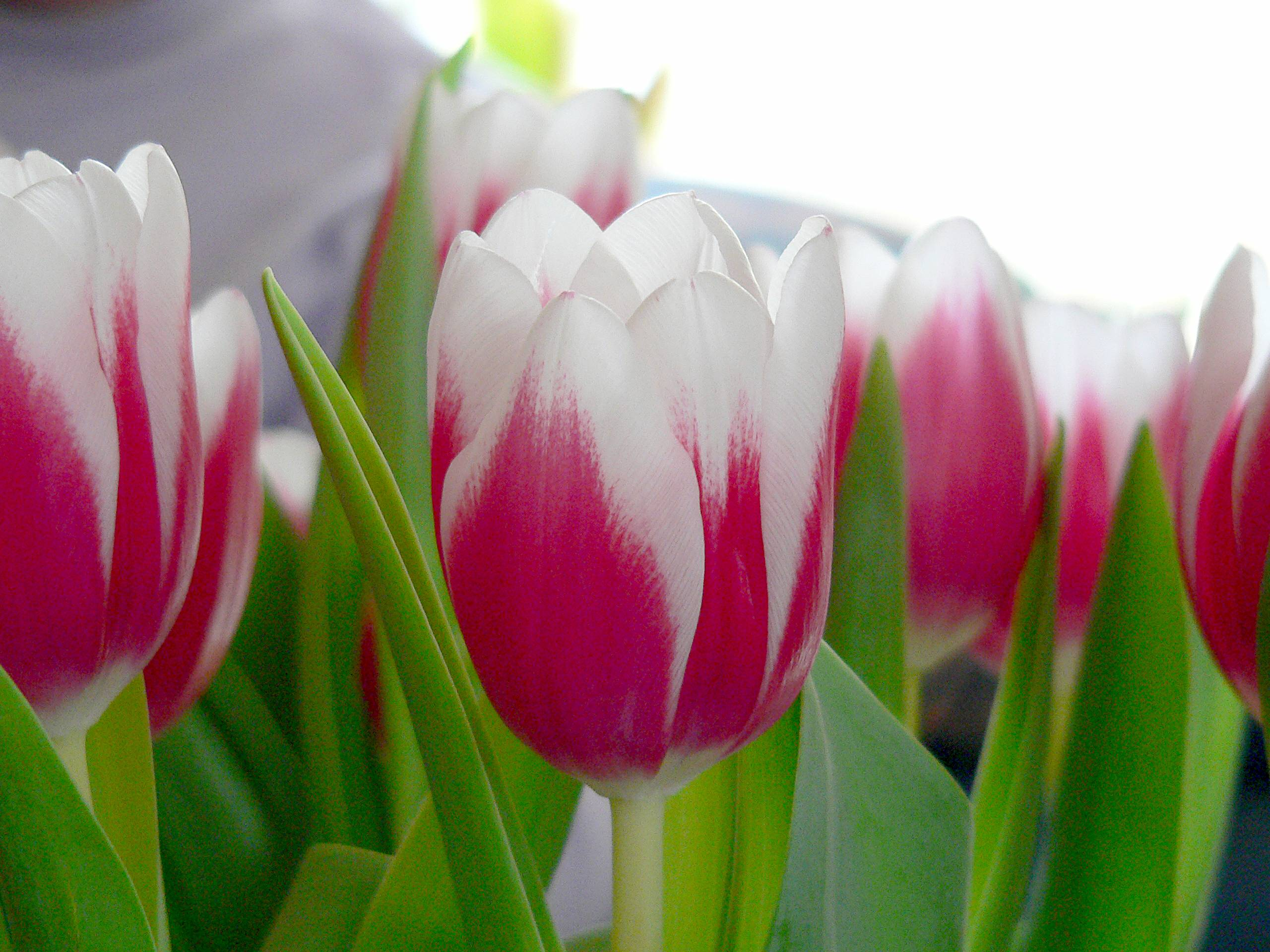 What makes tulips droop?