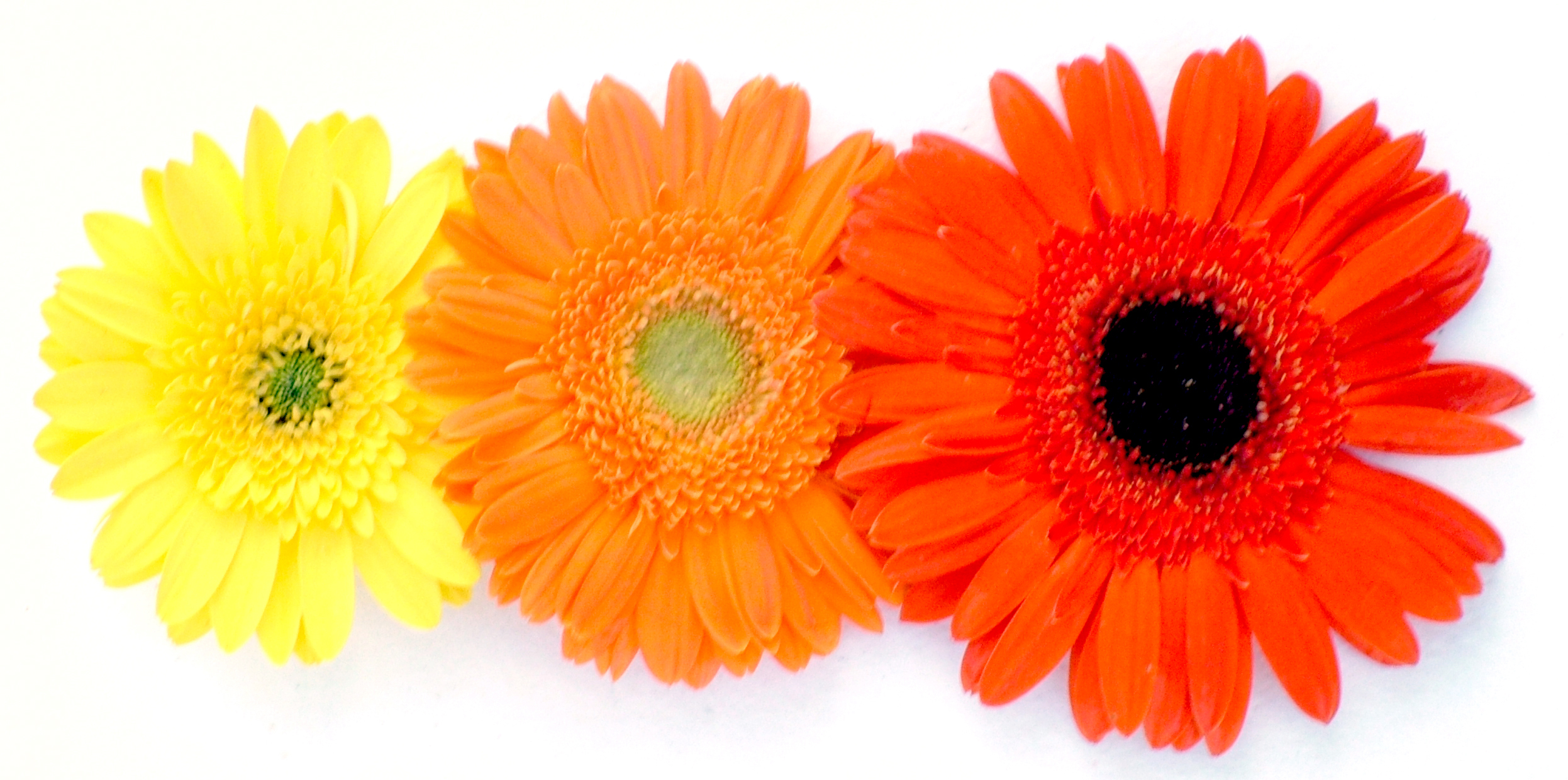 Types of Gerbera Daisies