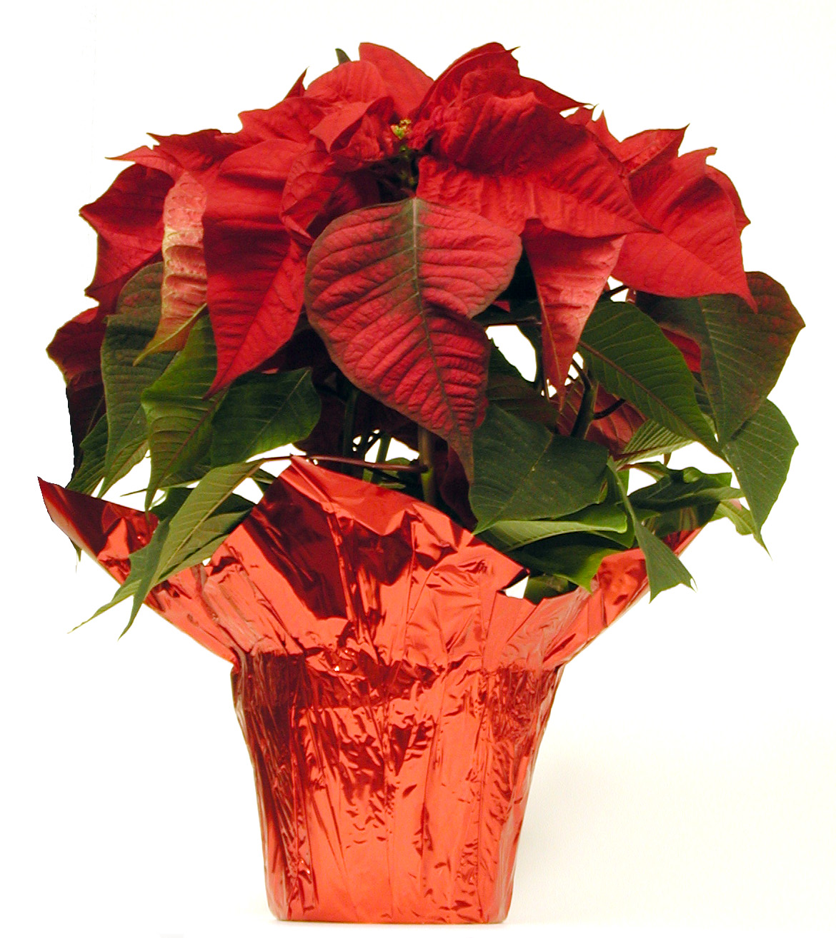 Christmas flowers for those who love tradition