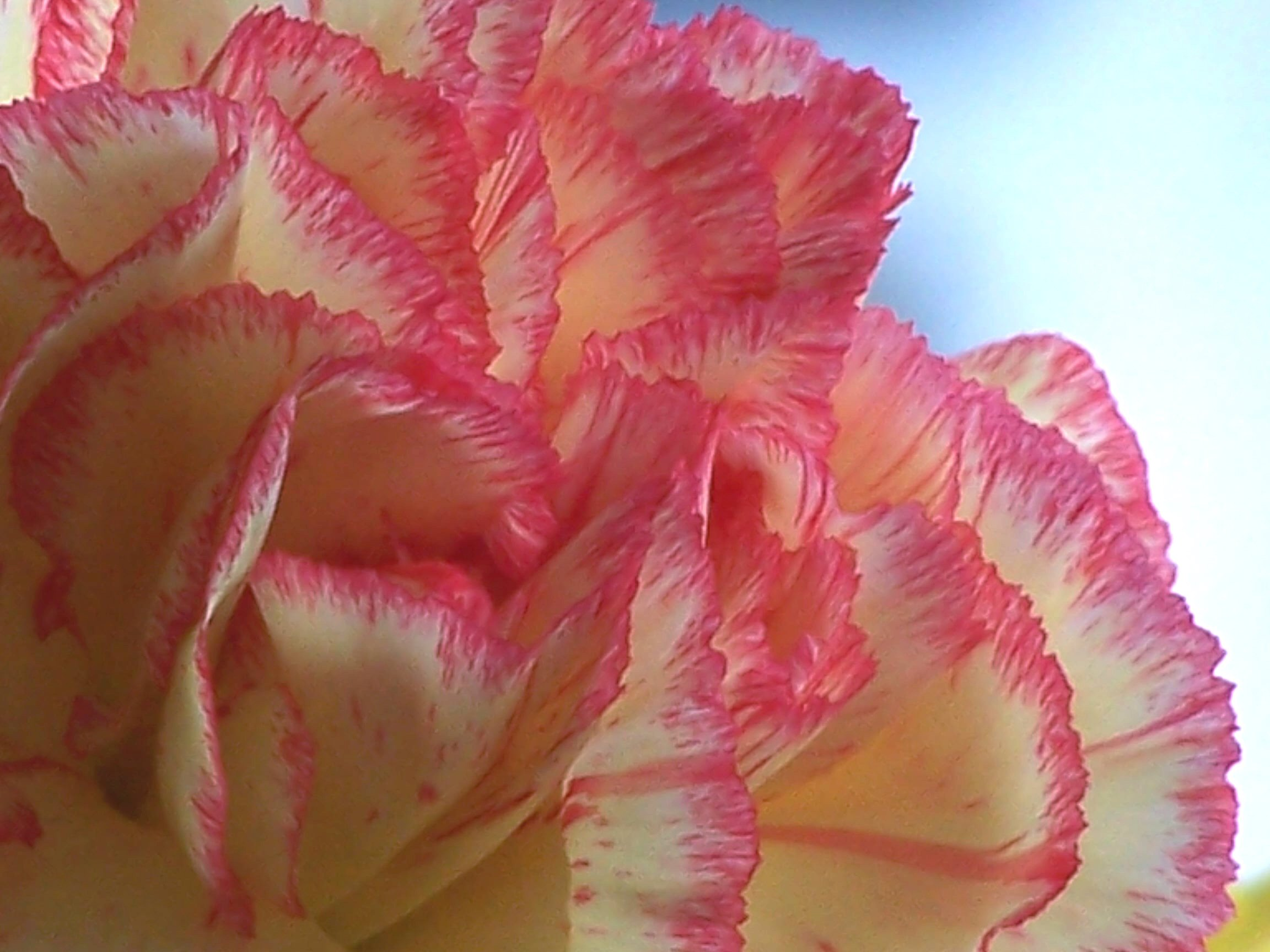 Various types of carnations