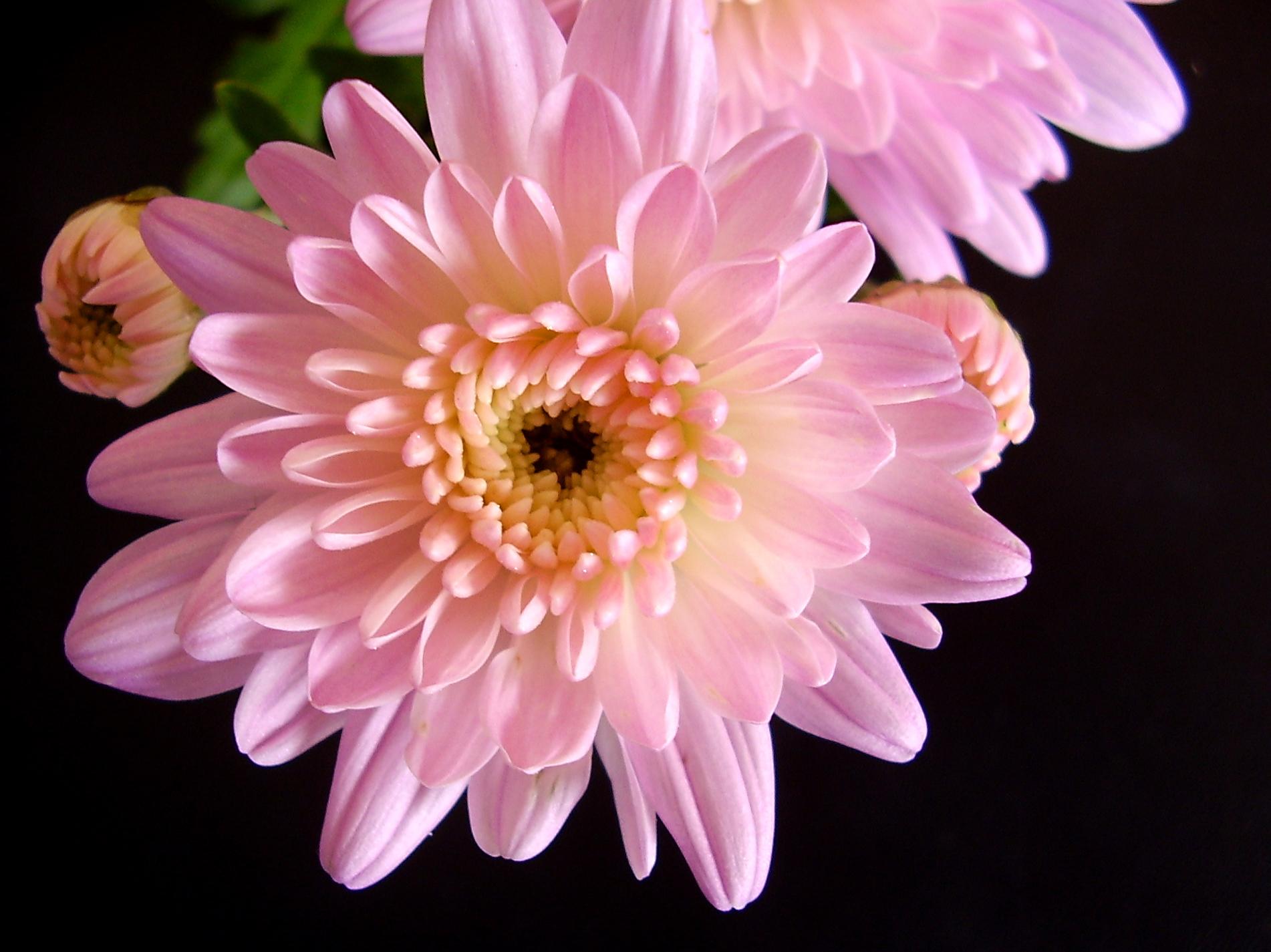 The wonderful variety of Chrysanthemums