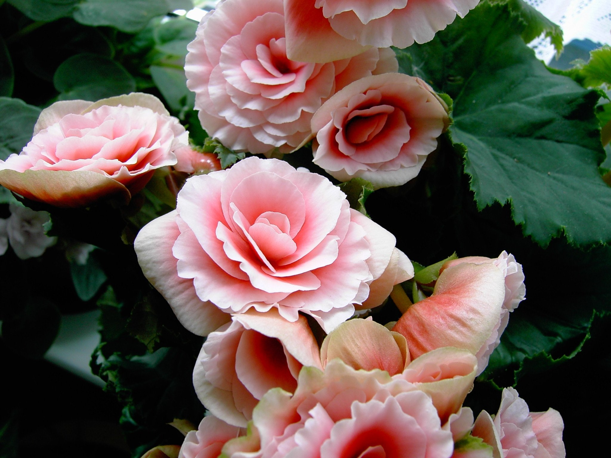 How Keep Your Potted Begonia Plants Happy Flower Press