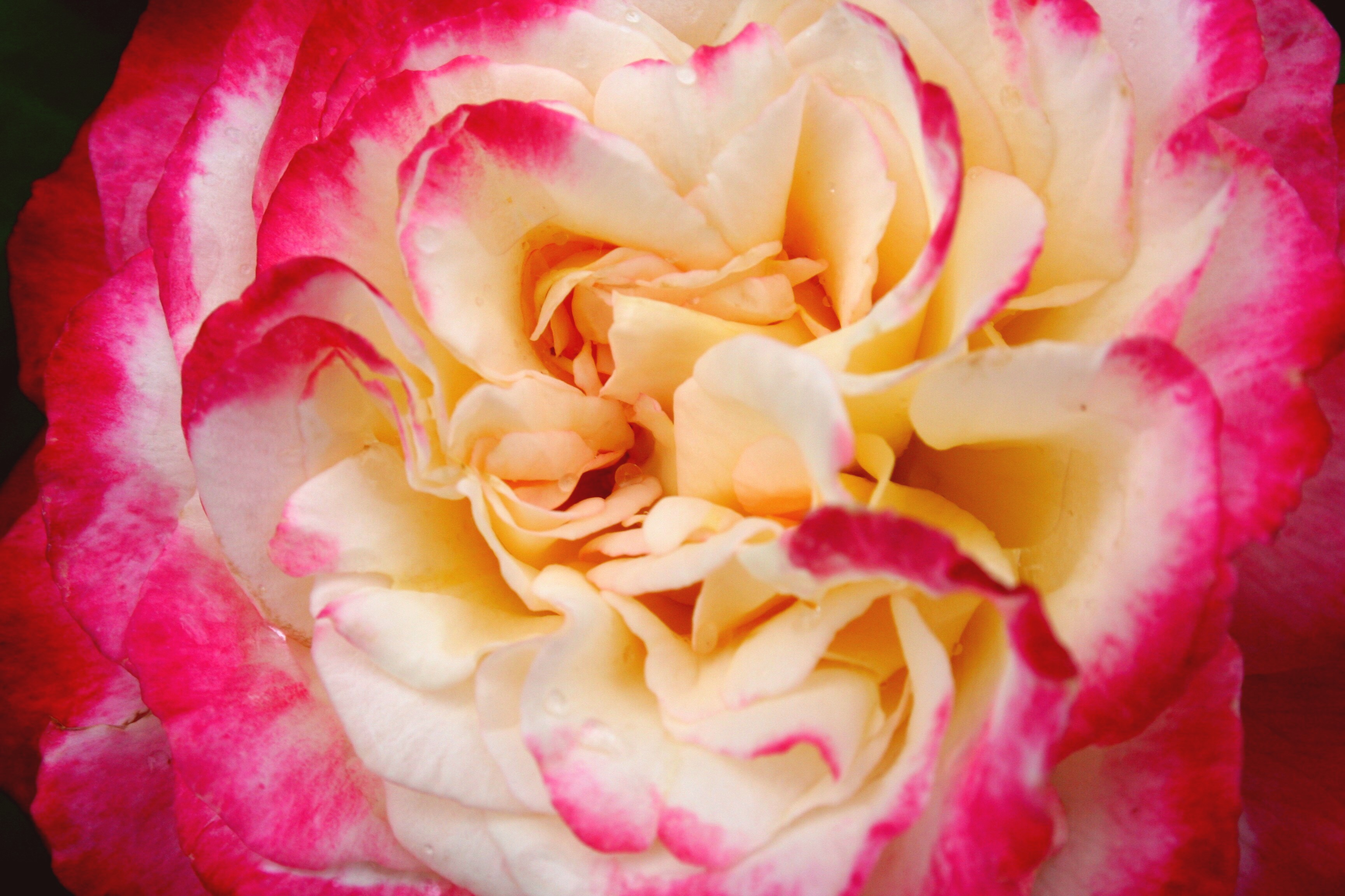 Fascinating carnation facts