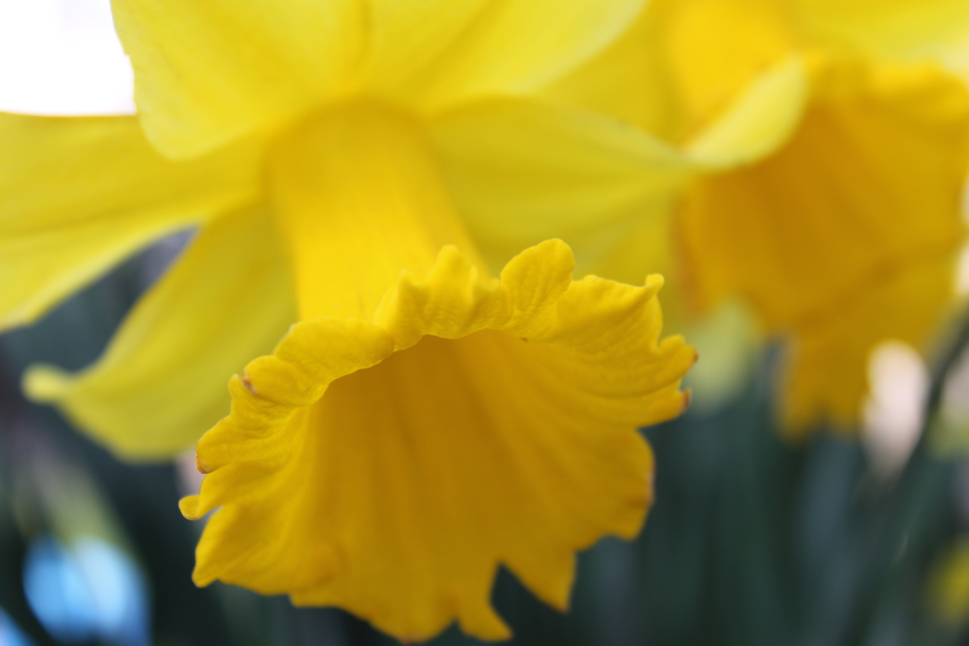 Tips to care for potted daffodils
