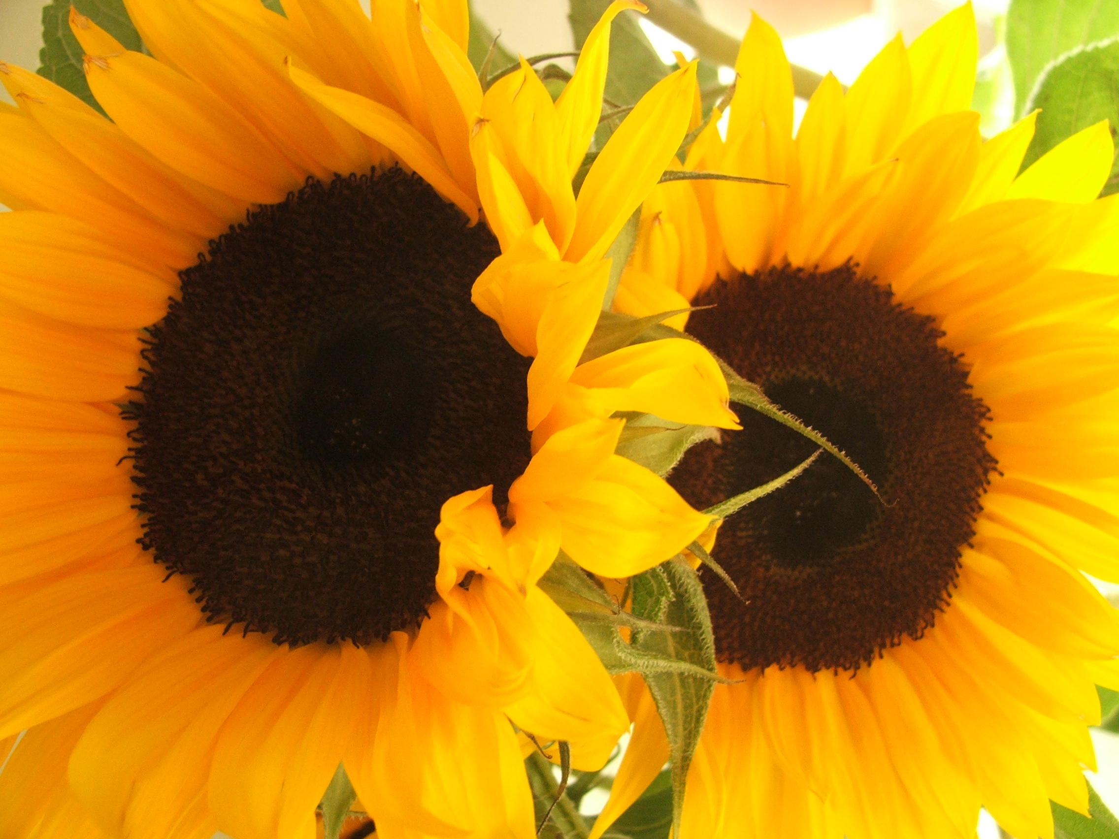 How sunflowers benefit your health