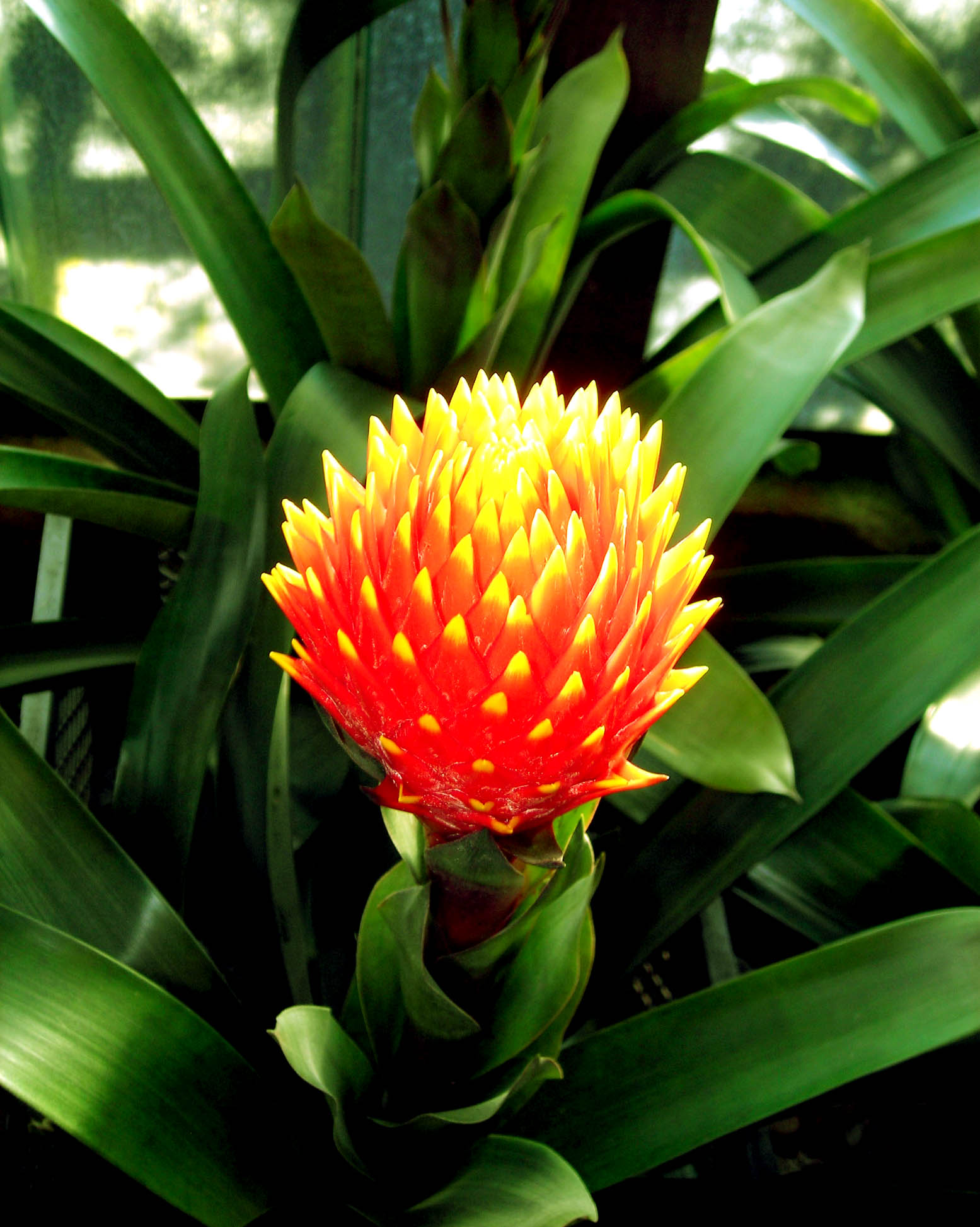 Bromelia plant care advice