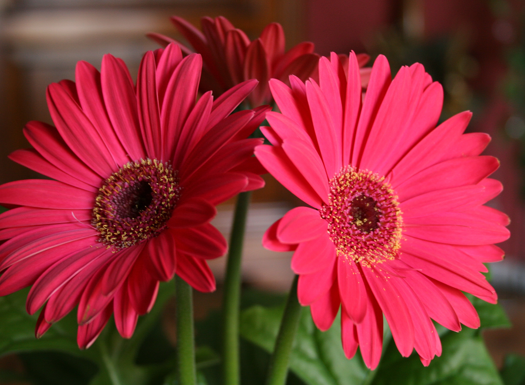 How to make cut gerbera daisies last longer