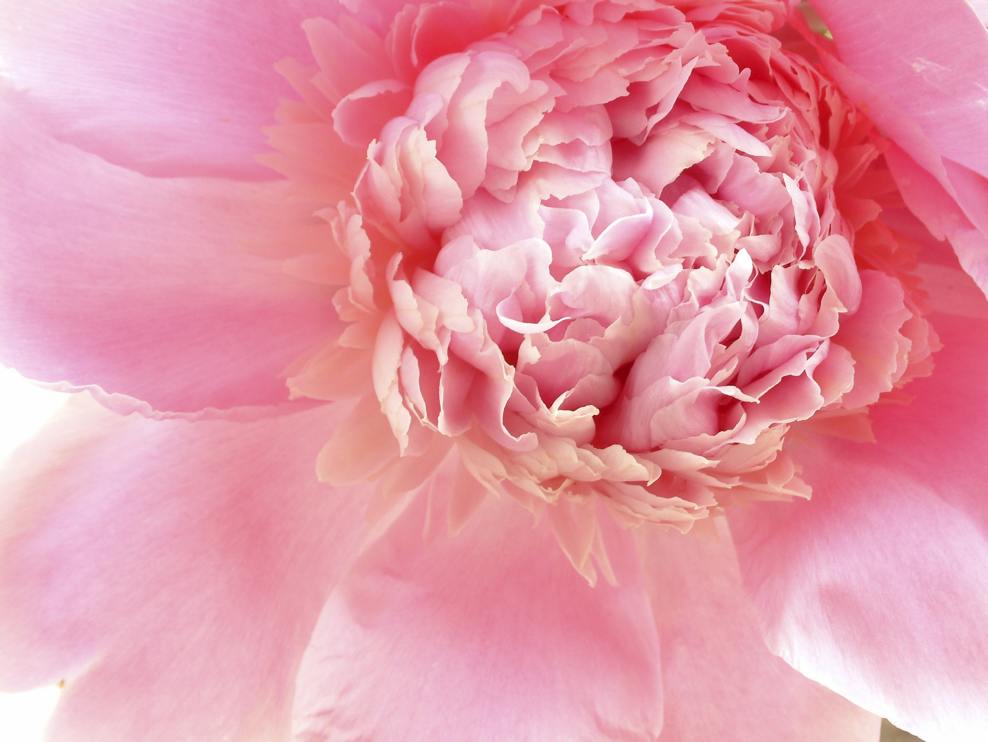 How to keep your peonies pretty