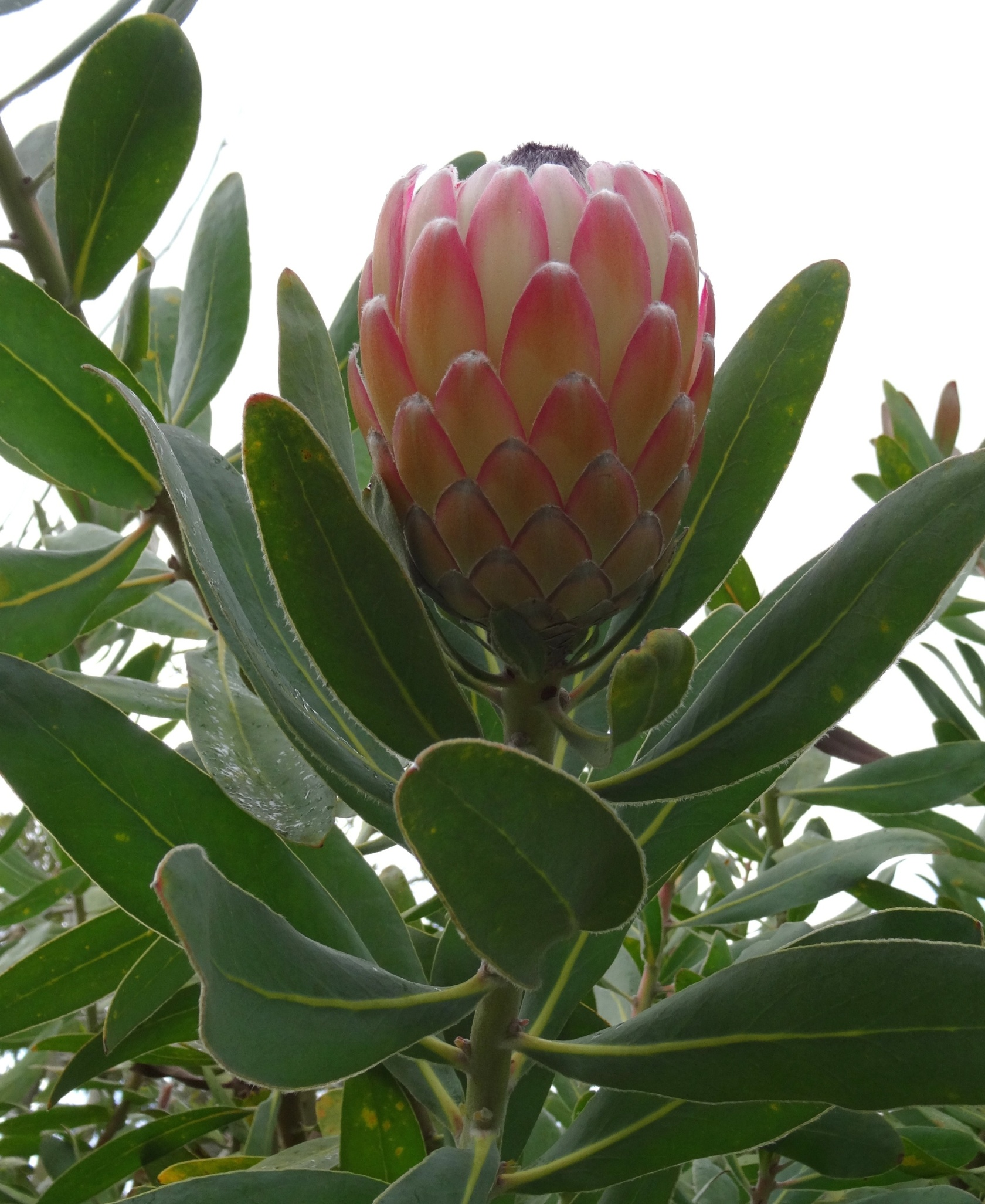 Make your own protea bouquet