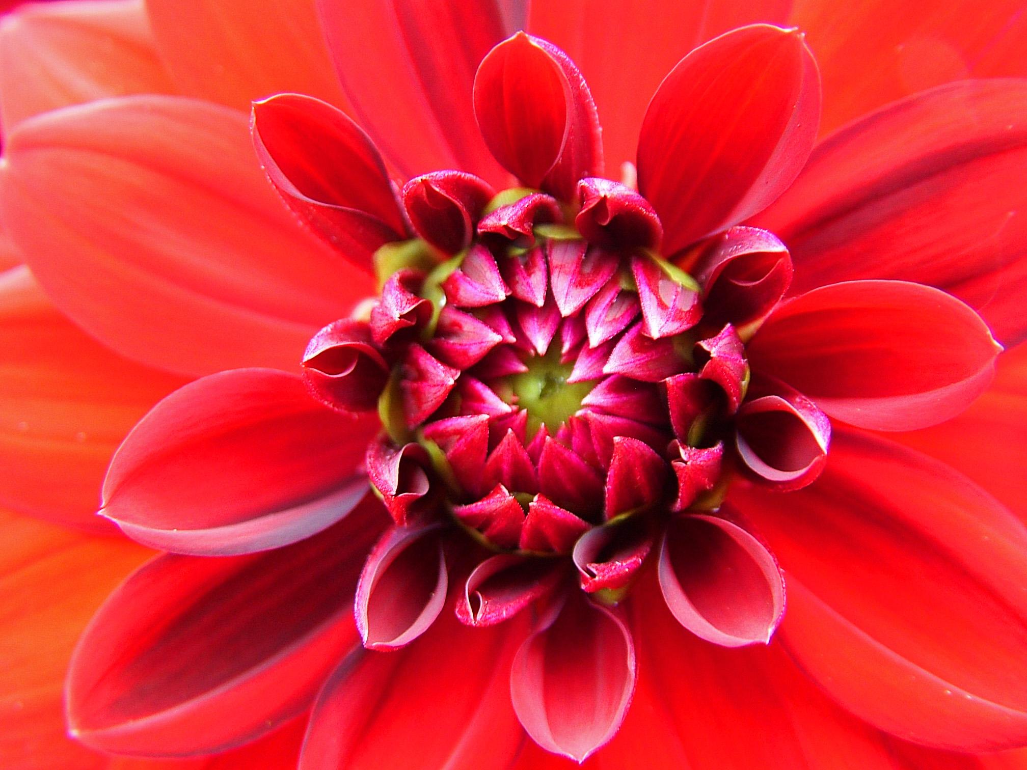 Chrysanthemum flower history