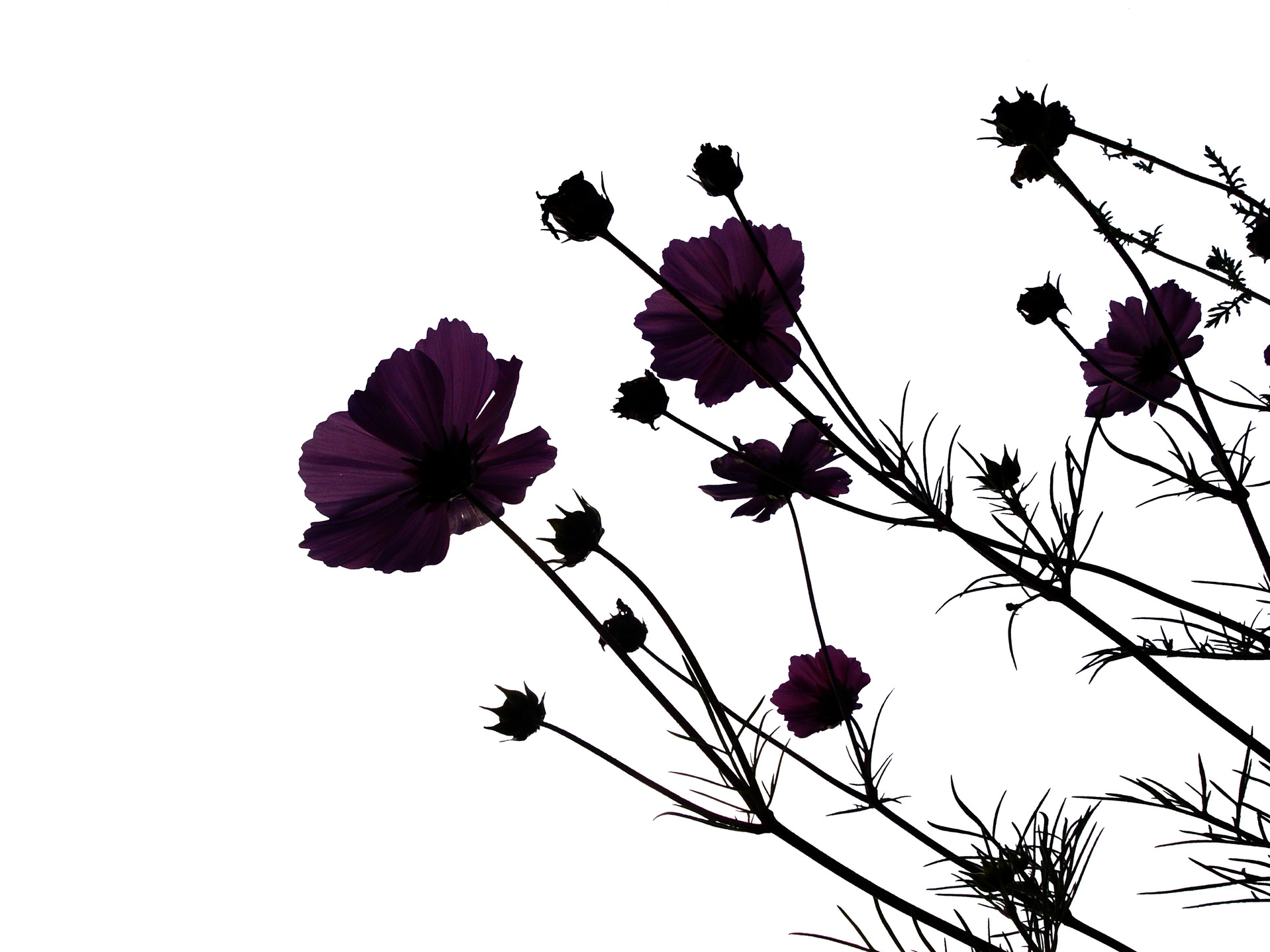 Black flowers are beautiful