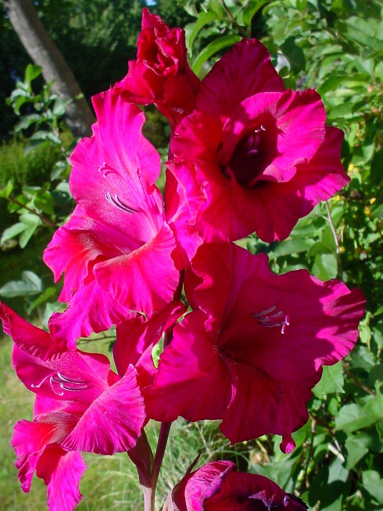 August birth flowers