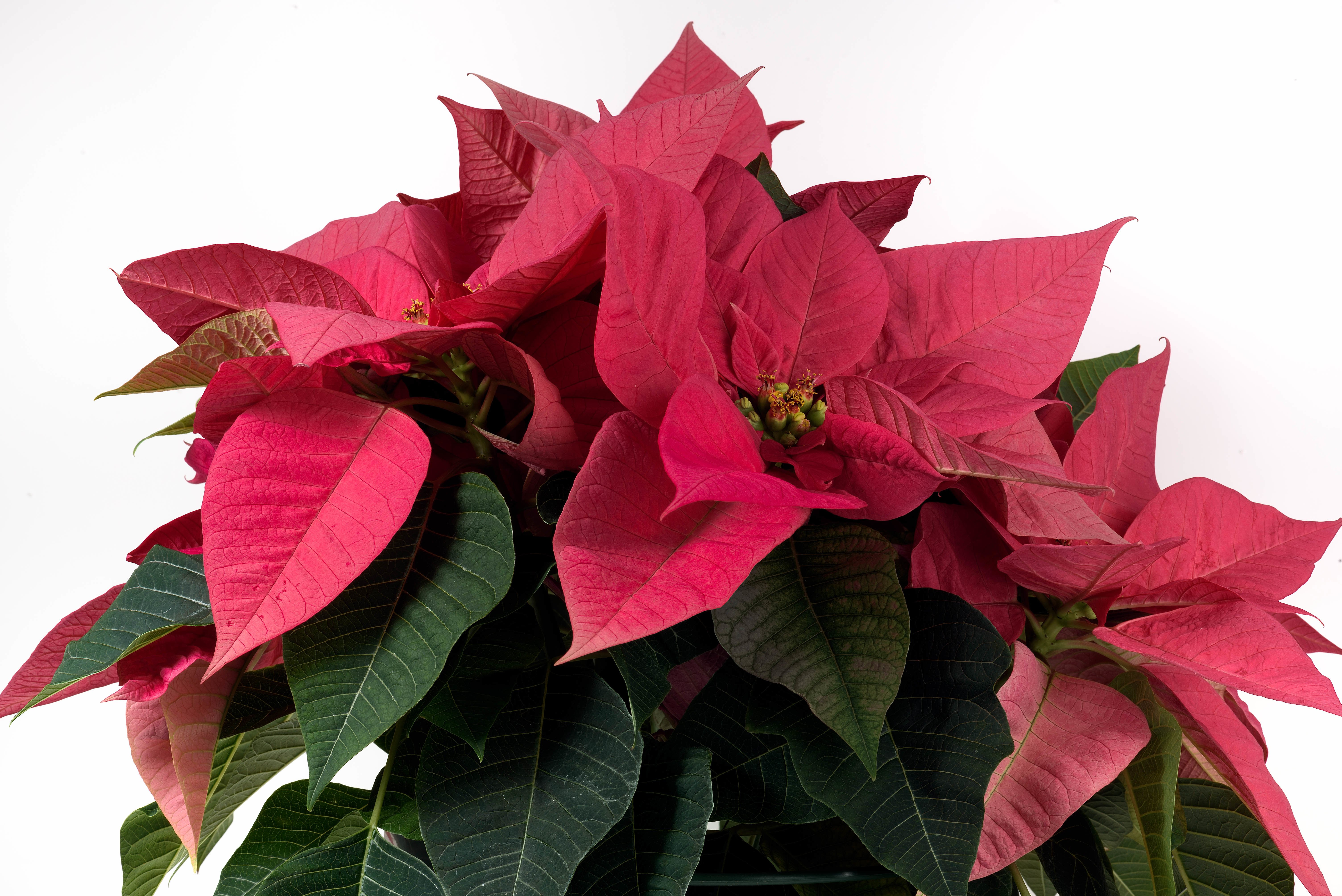 Why Poinsettias are associated with Christmas