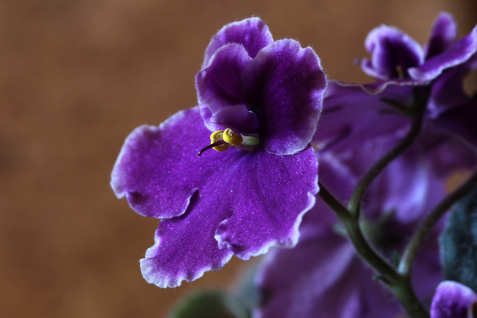 Violets for February