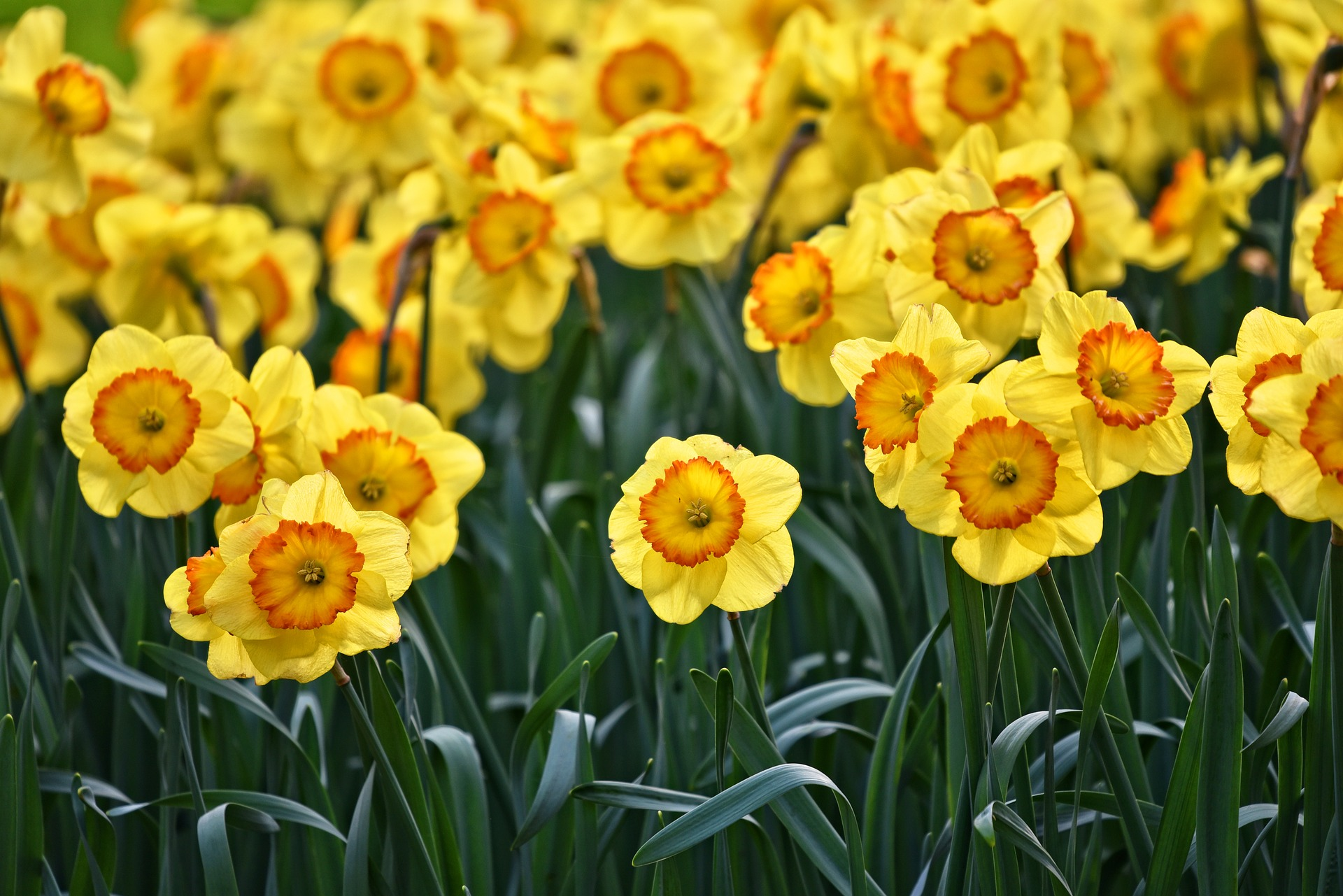 Daffodils for March