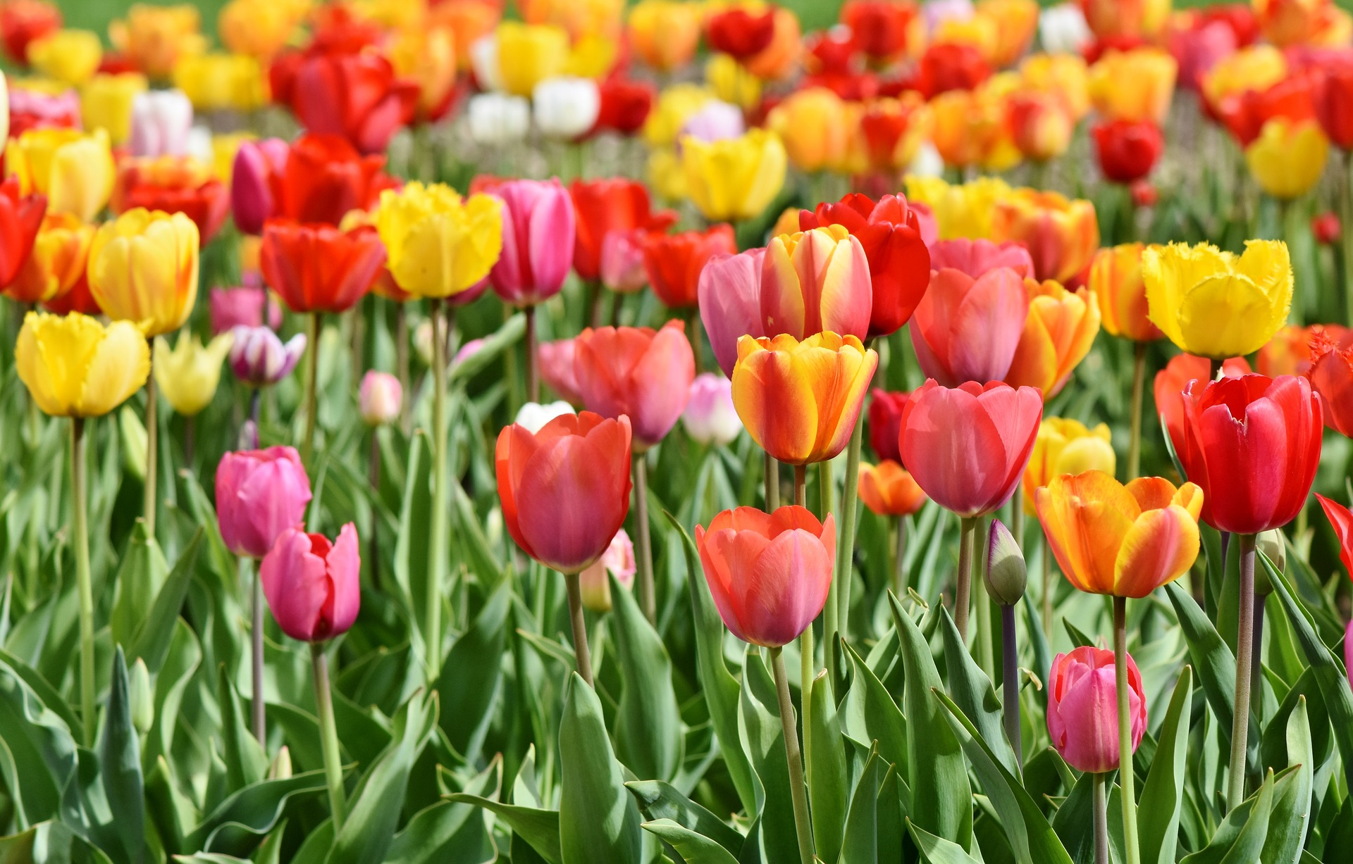 Tulip meanings