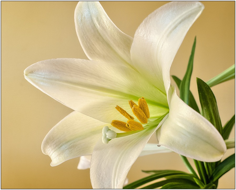 Easter lily care advice