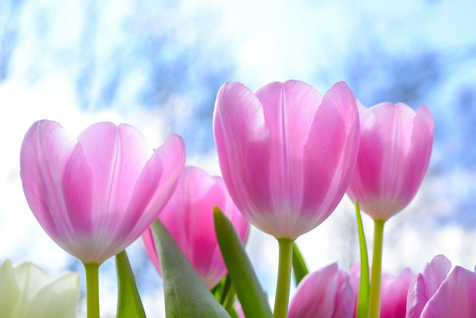 Tips For Planting Tulip Bulbs Flower Press