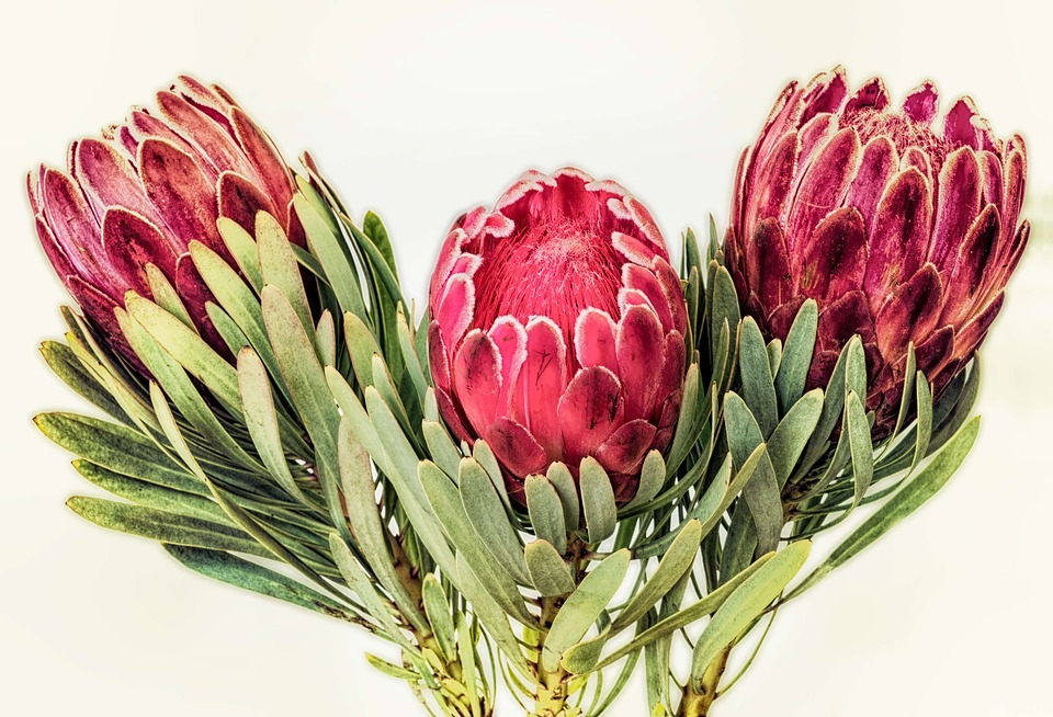 Pretty Proteas for Mum