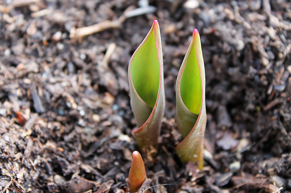 How to grow plants from bulbs