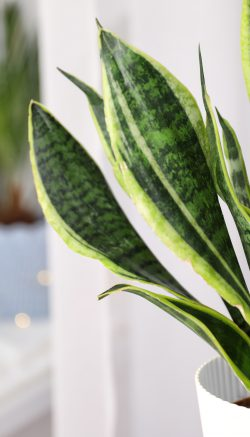 Snake Plants purify the air