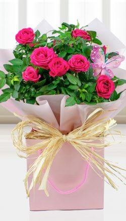 Rose plant care