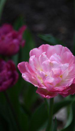 Tulip peonies