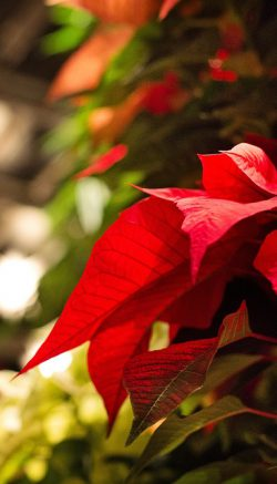 Decorate a poinsettia