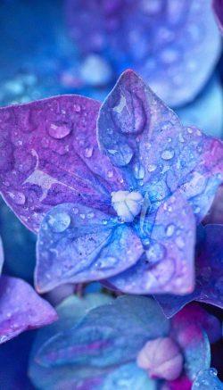 hydrangea flower facts