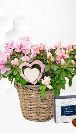 azalea potted plant care